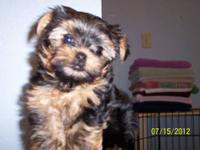 Female gold yorkie who carries for parti yorkies is