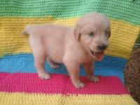 Akc Golden Retriever Puppies for sale. Males and