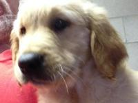 AKC Registered Golden Retriever. 9 Weeks, First Shots,