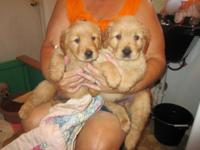 AKC large Golden Retreiver puppies READY for their