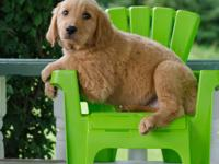 Beauitful AKC Golden Retriever.she is utd on shots and