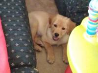 Sweet female golden. Very playful and loving. Loves