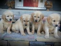 AKC Golden Retrievers. We have 5 males available. The