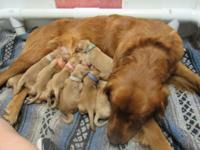 2 Litters to pick from. Pipper's litter 7 males 3