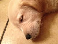 AKC golden retriever puppies for sale, only 4