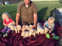 AKC Golden Retriever Puppies, born August 17, ready for