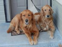 AKC Golden Retriever Puppies 1 malet. Great for