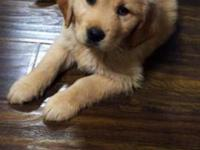 Amazing golden retriever make puppy. This breed is one
