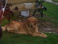 AKC golden retriever full registration. first shots and