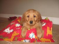 AKC Golden Retriever puppies ready to go to your home