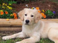 I have a beautiful akc golden retriever female for sale
