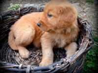 AKC Golden Retriever Puppies Our puppies come from a