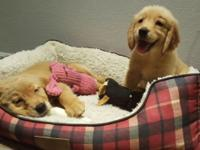 I have 2 top pick AKC Golden Retriever females. They