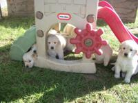 AKC Golden Retriever puppies looking for a loving home.