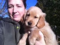 Just one left AKC golden retriever puppy. Present on