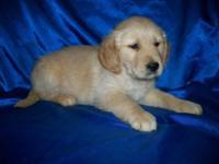 Beautiful Golden Retriever male born March 6th, will be