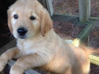 AKC Golden Retriever, 1 Male left. He is so cute and