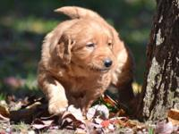 AKC Golden Retriever Male Puppies. These beautiful boys