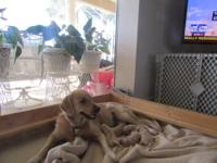 Five light golden female puppies available for sale.