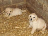 AKC Golden Retriever Puppies for sale. DOB-10/ 29/14.