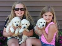 100 % AKC English Cream Golden Retriever puppies.