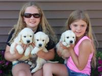 100 % AKC English Cream Golden Retriever puppies.