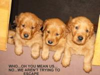 Sweet AKC Golden Retriever Puppies raised in a loving