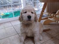 9 weeks old, Gorgeous AKC Golden Retriever Puppies,