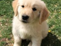 2 Female Golden Retriever puppies, AKC, these loveable