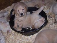 I have males (only three left!!!) Golden Retriever