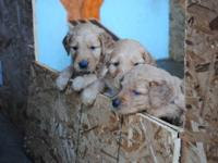 AKC Golden Retriever Pups, OFA hips, 10 yrs exp.