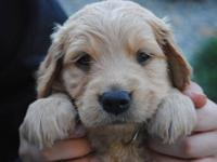 AKC Golden Retriever Puppies ONLY 5 males left.