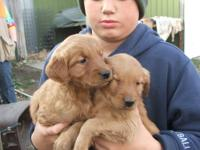 AKC registered Golden Retriever Puppies. 4 Males. All