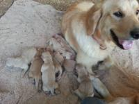 I have Golden Retriever puppies born Dec. 2, 2012. They