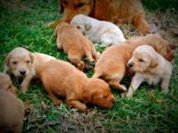 AKC Registered Golden Retriever Puppies for sale.