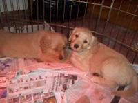 we have 4 adorable Golden Retriever puppies left now.
