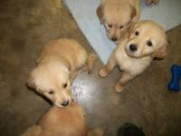 I have Golden Retriever puppies born Dec. 12, 2012.