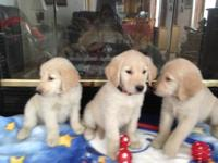**AKC Golden Retriever Puppies** Puppies have great