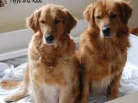 Beautiful light golden retriever puppies will be ready