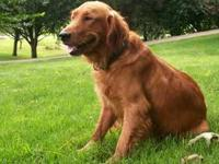 AKC registerd golden retreiver puppies for sale, medium
