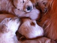 AKC golden retriever puppies, ready for new families