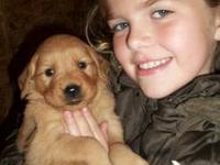 AKC golden retriever puppies family raised with our