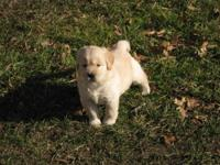 akc golden retriever puppies ready for their new homes
