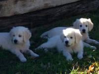 AKC Golden Retriever puppies born December 7, 2013.