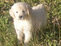 I have one male and one female Golden Retriever left. I