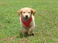 AKC REGISTERED GOLDEN RETRIEVER PUPPIES, WE HAVE 3