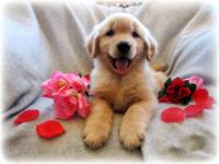 AKC Golden Retriever Puppies. Males Available. Ready to