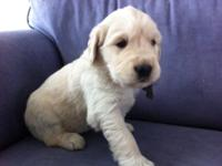 AKC Golden Retriever pups available to join their