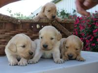 **** AKC REGISTERED GOLDEN RETRIEVER PUPPIES ****. 5