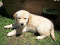 3 lovable male Golden puppies all set for adoption May